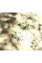 【Toumei】押し花コースター 4点セット センプレ/SEMPRE